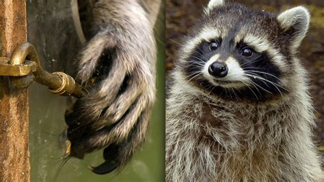 A raccoon demonstrates her problem solving skills | The
